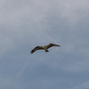 Osprey2012_011