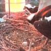Osprey_eggs_may_27