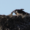 Ospreyn_2596here_take_it