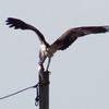 Ospreyn_2596withdinner