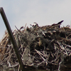 Ospreyn_2702_low_in_nest