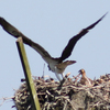 Ospreyn_2702new_chick