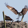 Ospreyn_2702parent_return