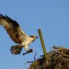 Osprey_flare