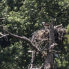 Road_osprey_on_nest