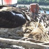 Abc_6_osprey_2_hatchlings_6-23