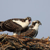 Osprey-chicks-on-nest