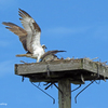 Fish_delivery_by_mama_osprey_ud65