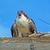 Osprey_chick_lady_cawcaw_performs_2_ud65