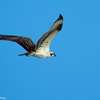Osprey_chick_flies_over_the_ocean_3_ud65
