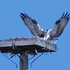 Osprey_chick_returns_2_ud67_b