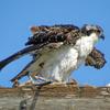 Wet_osprey_chick_ud67