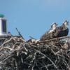 Osprey_nest_490