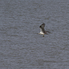 Lr_osprey_fishing