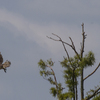 Lr_osprey_with_crow_going_fishing.