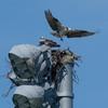 Aphs_osprey_nest_-_2