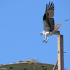 Mama_osprey_returns_to_the_nest_ud107