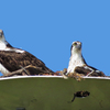 Mama_and_papa_osprey_in_the_nest_2_ud107