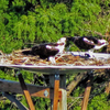 Osprey_couple_in_tye_nest_ud104