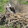 Osprey_queen's_lake_nest_676_3-2-17