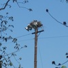 Ospreys_on_light_pole