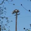 Ospreys_on_light_pole