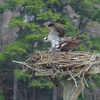 Queen's_lake_osprey_nest__676_3-3-17_male_and_female
