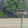 Queen's_lake_osprey_nest__676_3-3-17_male_and_female_(2)