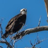 Osprey_from_officers_club_nest