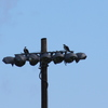 Two_ospreys-1
