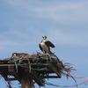 Ospreys_on_nest_16