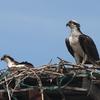 Ospreys_on_nest_12_wow_crop