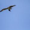 Img_5769-osprey