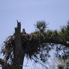 Osprey_deep_in_nest