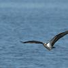 6755_nest_osprey_in_flight-1