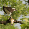 Feeding_osprey_in_tree_belle_haven-2