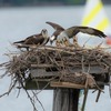 Belle_haven_nestlings_and_parents