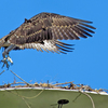 Osprey_chick_is_fledging
