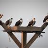Osprey_family