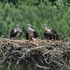 Osprey_dad_with_two_fledglings