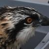 Osprey_lynnhaven_banding_2017_053