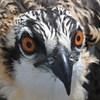 Osprey_lynnhaven_banding_2017_094