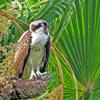 Osprey_chick_arlene_2