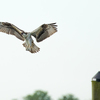 Osprey_early_flight-1