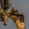 Momma_osprey