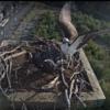 2017-09-22_12_21_27-newfoundland_power__osprey_nestcam