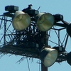 Be_nest_osprey_030