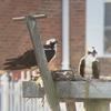 Ospreys_18march18