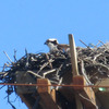 March_17_osprey