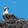 Osprey_of_the_jersey_shore___2018_-_1